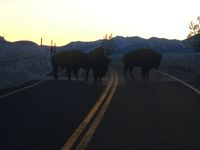 Bison on road north of Jackson. Photo by Larry McCullough.