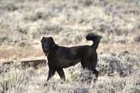 Nika, a black livestock guardian dog (not a wolf). Photo by Cat Urbigkit.