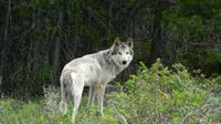 Image of a wolf seen in Grand County, Colorado on June 6. Photo for Wolf Watch courtesy of Jessica Freeman.
